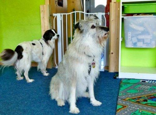 Unsere beiden Villa Regenwürmchen Hütehunde Abby und Mika